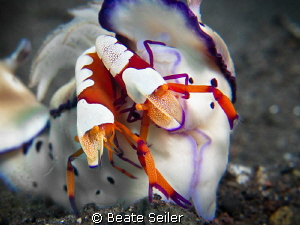 2 Imperator shrimp on a cromodoris 